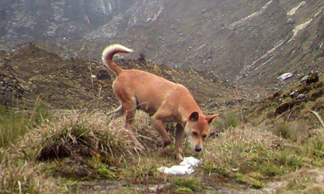 ΑΠΙΣΤΕΥΤΟ! Η ΠΙΟ Σπάνια και Αρχαία Ράτσα Σκύλου στον Κόσμο, εμφανίστηκε ξανά στην Άγρια Φύση. Άφωνοι οι Επιστήμονες!