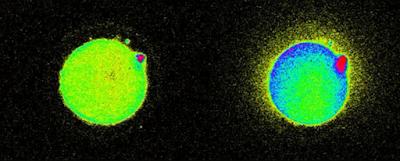 Για Πρώτη Φορά Επιστήμονες Εντόπισαν Λάμψεις Φωτός τη Στιγμή της Γονιμοποίησης του Ωαρίου! (Βίντεο)