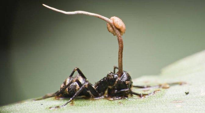 Το παράσιτο που ελέγχει το μυαλό και κάνει το μυρμήγκι… ζόμπι