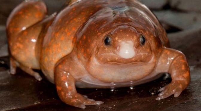 Νέο είδος «ζόμπι βάτραχου» ανακαλύφθηκε στον Αμαζόνιο